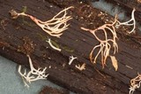 Ramariopsis kunzei image