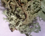 Ramalina pollinaria image