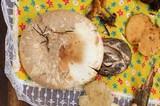 Amanita fallax image