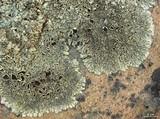 Xanthoparmelia lineola image
