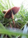 Panaeolus subbalteatus image