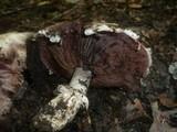 Agaricus cappellianus image