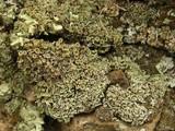 Image of Cladonia hammeri