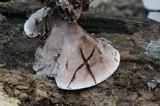 Nigroporus vinosus image