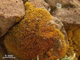 Caloplaca brattiae image