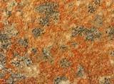 Image of Lecania fructigena