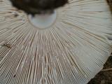 Amanita amerimuscaria image