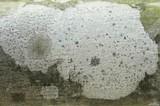 Arthonia albopulverea image