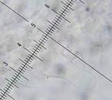 Bolbitius lacteus image