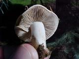Collybia oregonensis image