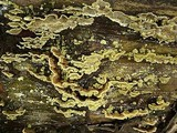 Flavodon flavus image