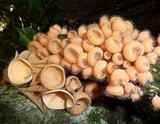 Cookeina tricholoma image