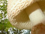 Amanita daucipes image