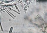 Hymenoscyphus repandus image