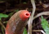 Mutinus elegans image