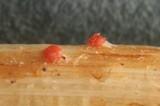 Image of Nectriella sceptri