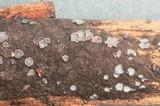 Mollisia fusca image