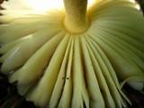 Amanita parcivolvata image