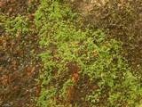 Image of Lepraria santamonicae