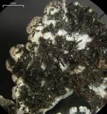 Physconia perisidiosa image