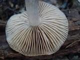 Cortinarius mucifluus image