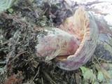 Lactarius corrugis image