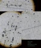 Coprinopsis scobicola image