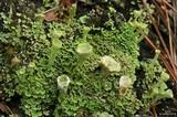 Image of Cladonia cryptochlorophaea
