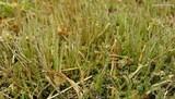 Cladonia rei image