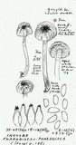 Inocybe phaeodisca image