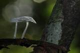 Delicatula integrella image