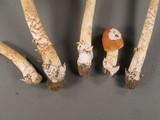 Amanita pseudocrocea image