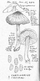 Cortinarius casimiri image