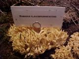 Ramaria flavobrunnescens image