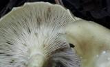 Clitocybe phaeophthalma image
