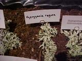 Image of Hypogymnia rugosa