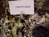 Platismatia glauca image