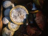 Lycoperdon subcretaceum image