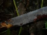 Peniophora limitata image