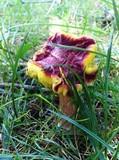 Boletus chrysenteron image