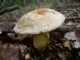 Image of Boletus pallescens