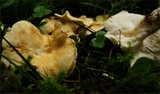 Image of Albatrellus citrinus