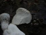Lycoperdon mammiforme image