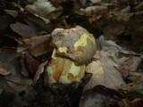 Boletus appendiculatus image
