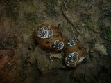 Melanogaster variegatus image