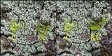 Leprocaulon microscopicum image