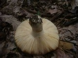 Russula melliolens image