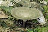 Polyporus tubaeformis image