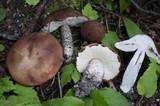 Leccinum fibrillosum image