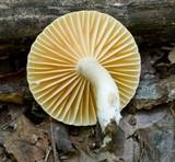 Lactarius subplinthogalus image